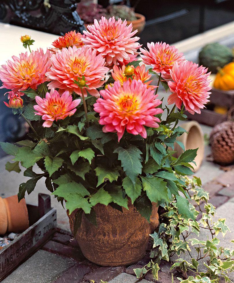 patio dahlia 39 extase 39 these dahlias are superb for. Black Bedroom Furniture Sets. Home Design Ideas