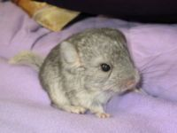 Gumtree Chinchilla Baby Cute Animal Pictures Pets Family Pet