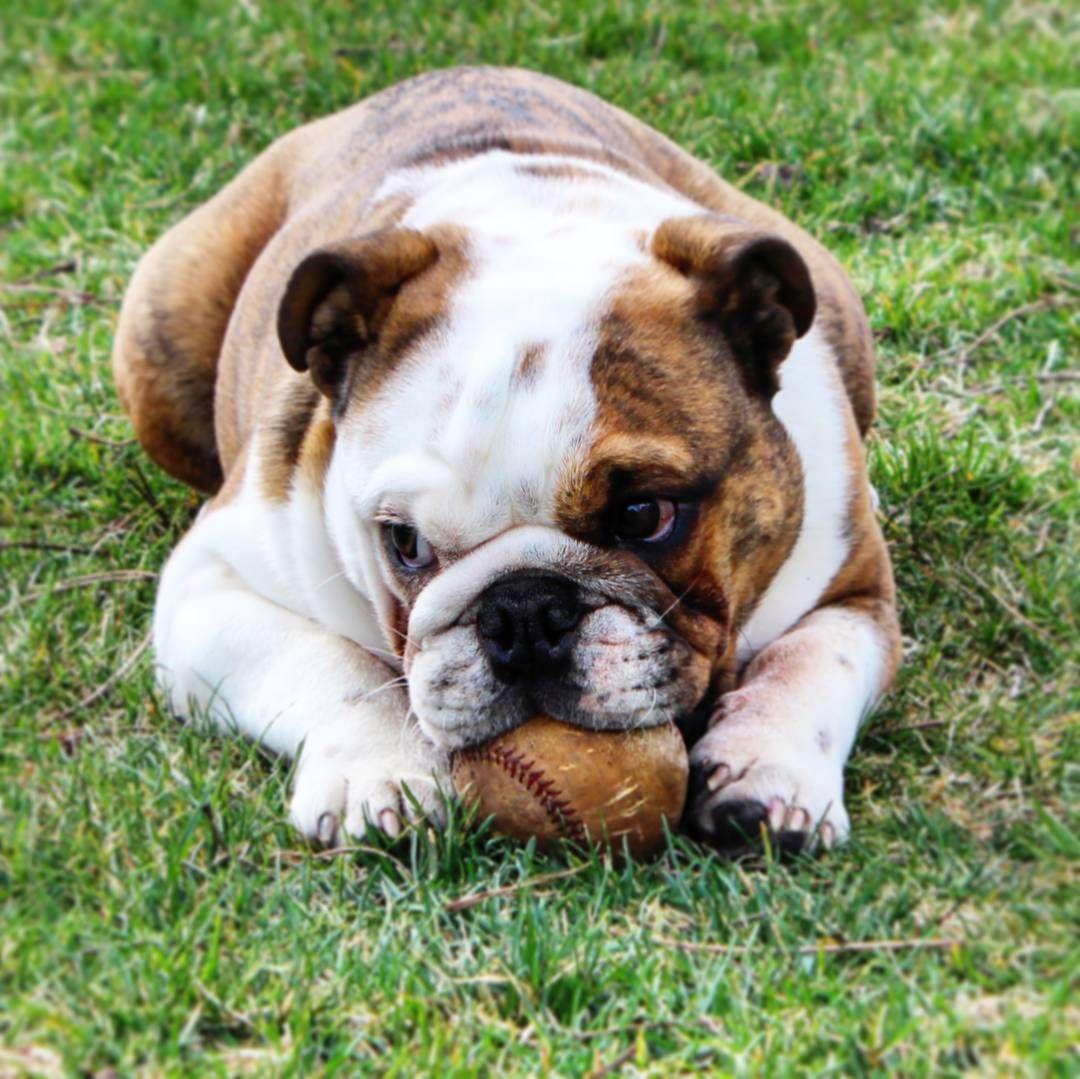 English Bulldog Loves Baseball Puppy With Images Funny