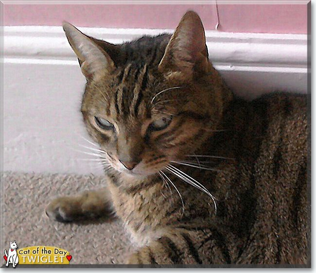 Twiglet the Bengal, Tabby mix, the Cat of the Day | Cat