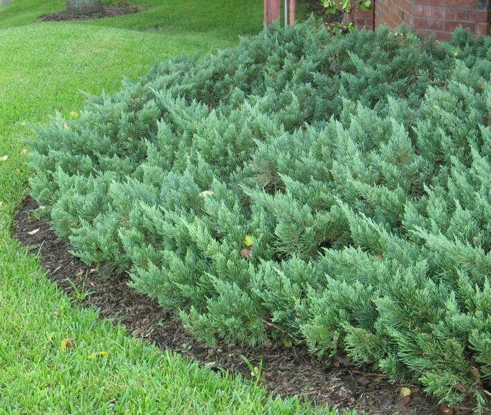 Parson 39 s juniper 2 39 3 39 tall 3 39 4 39 wide evergreen no blooms for Tall evergreen shrubs