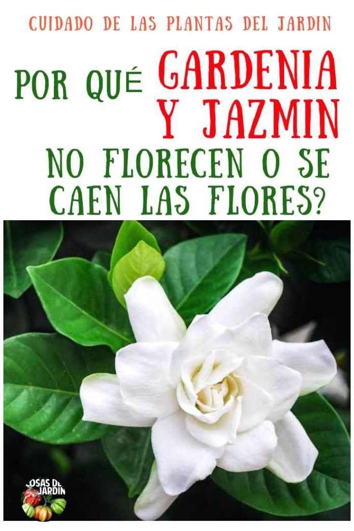 Por qué se le caen las flores a la gardenia y al jazmin del cabo. Por qué no Florece #jardineríaenmacetas