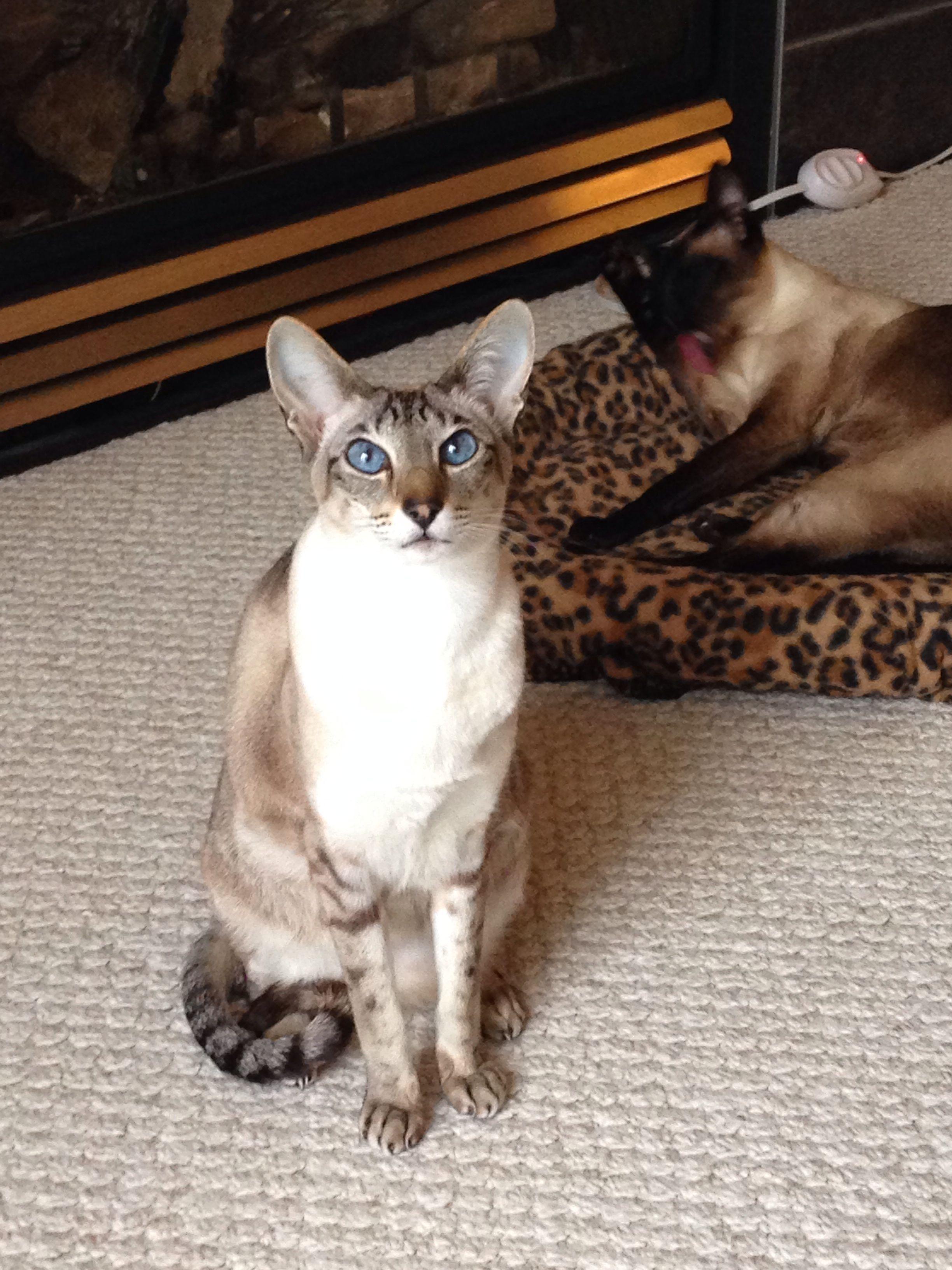 Bella My Seal Lynx Point Oriental Short Hair And Bentley My Seal Point Siamese Schattigste Dieren Dieren Katten