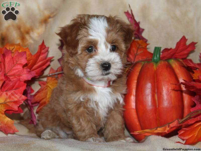 Tilly, Havapoo Puppy For Sale from Paradise, PA