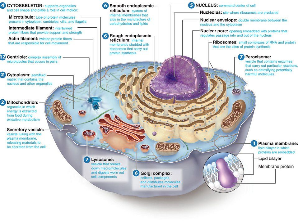animal cell structure and function diagram | The Virus exists ...
