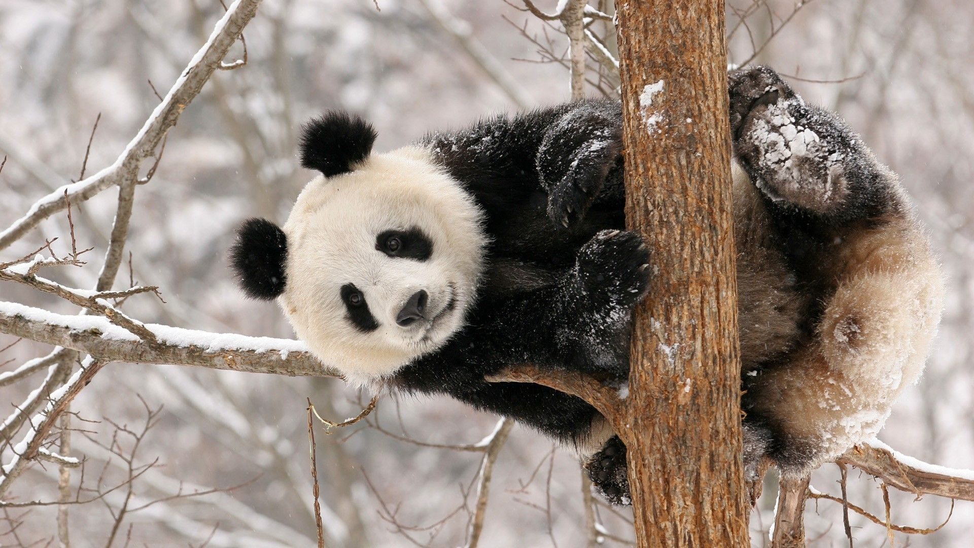 A Panda Climbs Up Tree After Snowfall In Hanzhong Shaanxi Province China