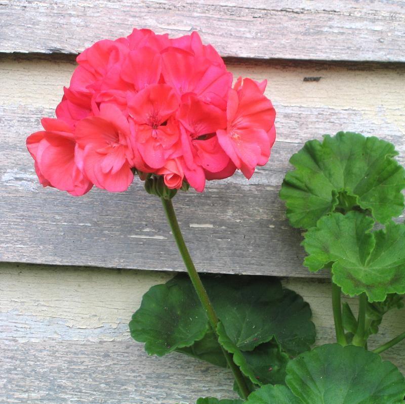 una de las flores ms comunes en jardines y balcones es el