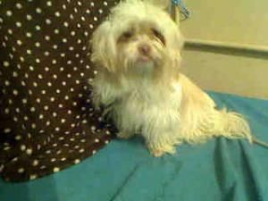 A4537050 URGENT BALWIND PARK SHELTER is an adoptable Shih Tzu Dog in Baldwin Park, CA. **WE NEED VOLUNTEERS TO POST & REMOVE PETS ON PETFINDER. IF YOU CAN COMMIT TO THE CAUSE OF HELPING SAVE SHELTER A...