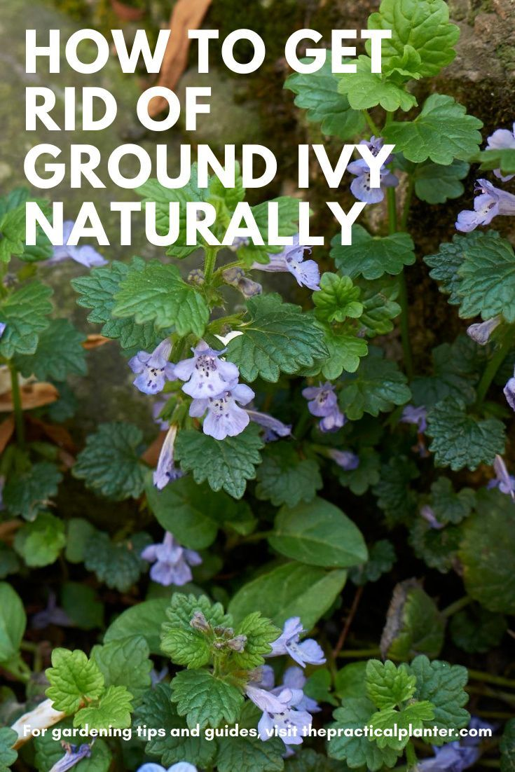 How To Get Rid Of Ground Ivy Naturally The Practical Planter In 2020 Pretty Plants Flower Care Gardening Tips