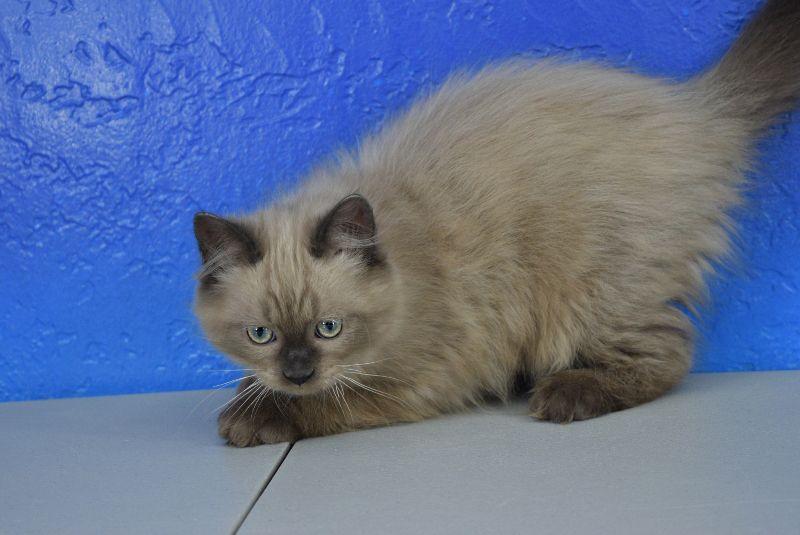 Ada Seal Colourpoint Mink Female Ragamuffin Kitten Ragamuffin Kittens Ragdoll Kitten Ragamuffin Cat
