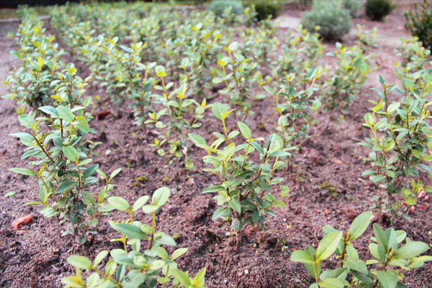 Liguster Pflanzen Ligustrum Vulgare  Atrovirens  25 Stück