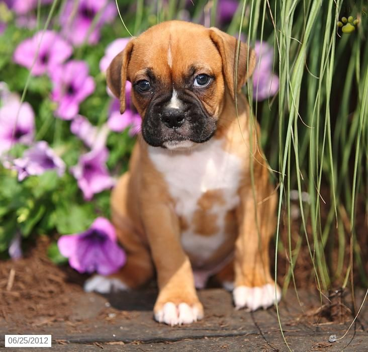 Boxer Puppy for Sale Boxer puppies for sale, Boxer