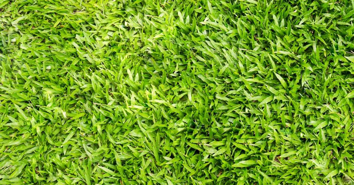 A Favorite Of Lawn Owners Interested In Minimal Upkeep Centipede Grass Requires Far Less Attention And Input Th Centipede Grass Zoysia Grass No Grass Backyard