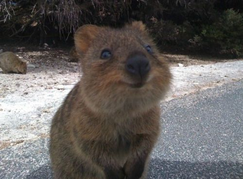 Zookeeper Tales | This is a Quokka