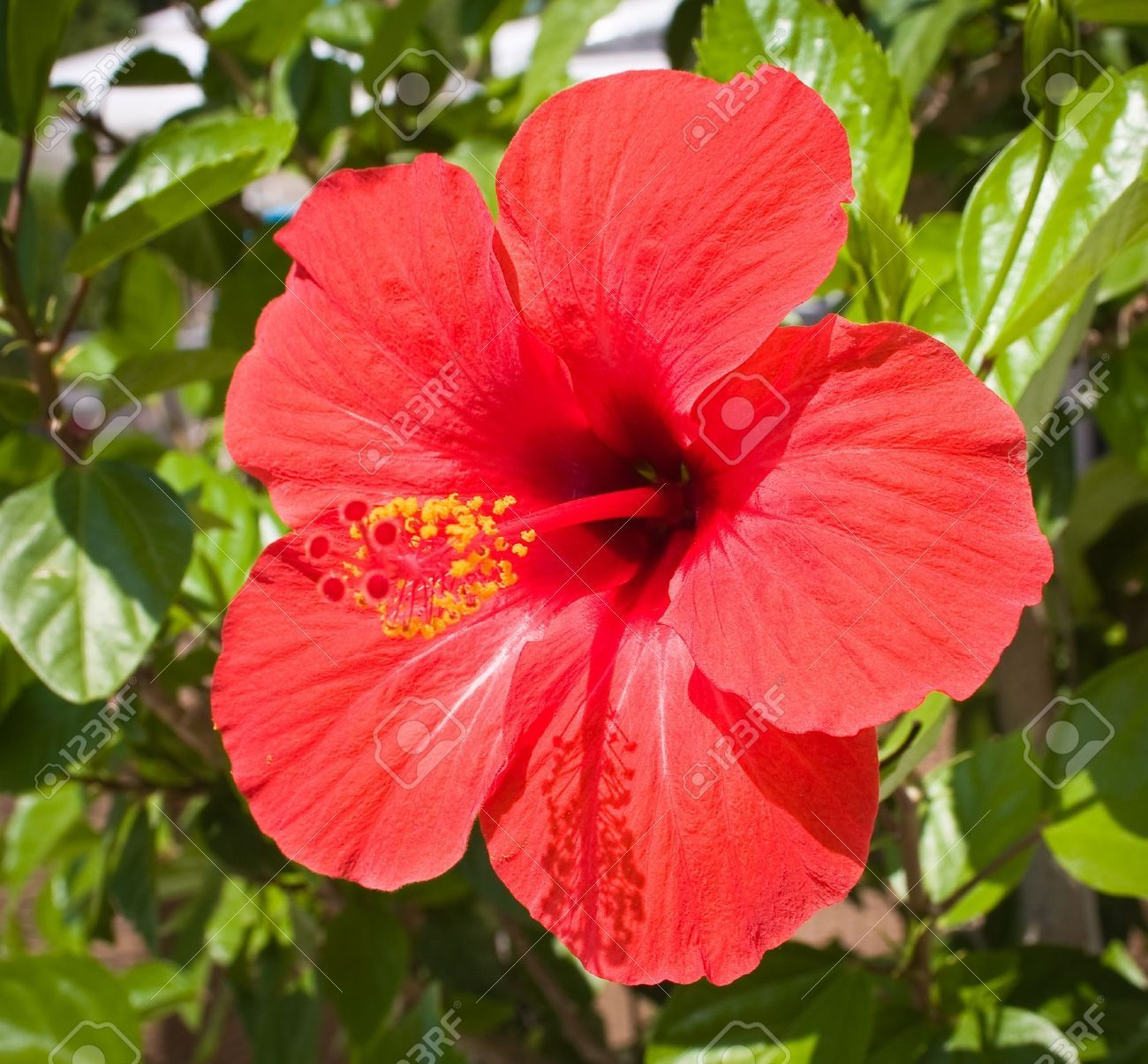 Awesome Image Of Red Hibiscus Flower And Review in 2020