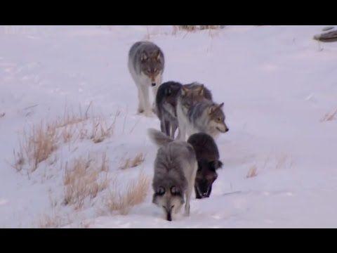 LOBO: The Wolf That Changed America - BBC Natural World (Wildlife Documentary) - YouTube