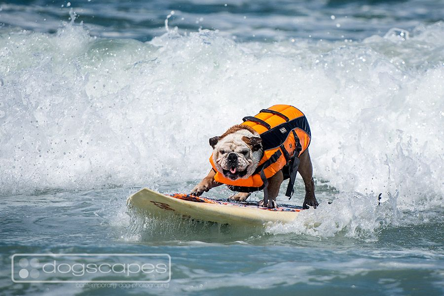Tillman The Famous Skateboarding Bulldog Took On The Ruff Surf Saturday At The Annual Loews Coronado Surf Dog Competiti Dog Competitions Dog People Dog Beach