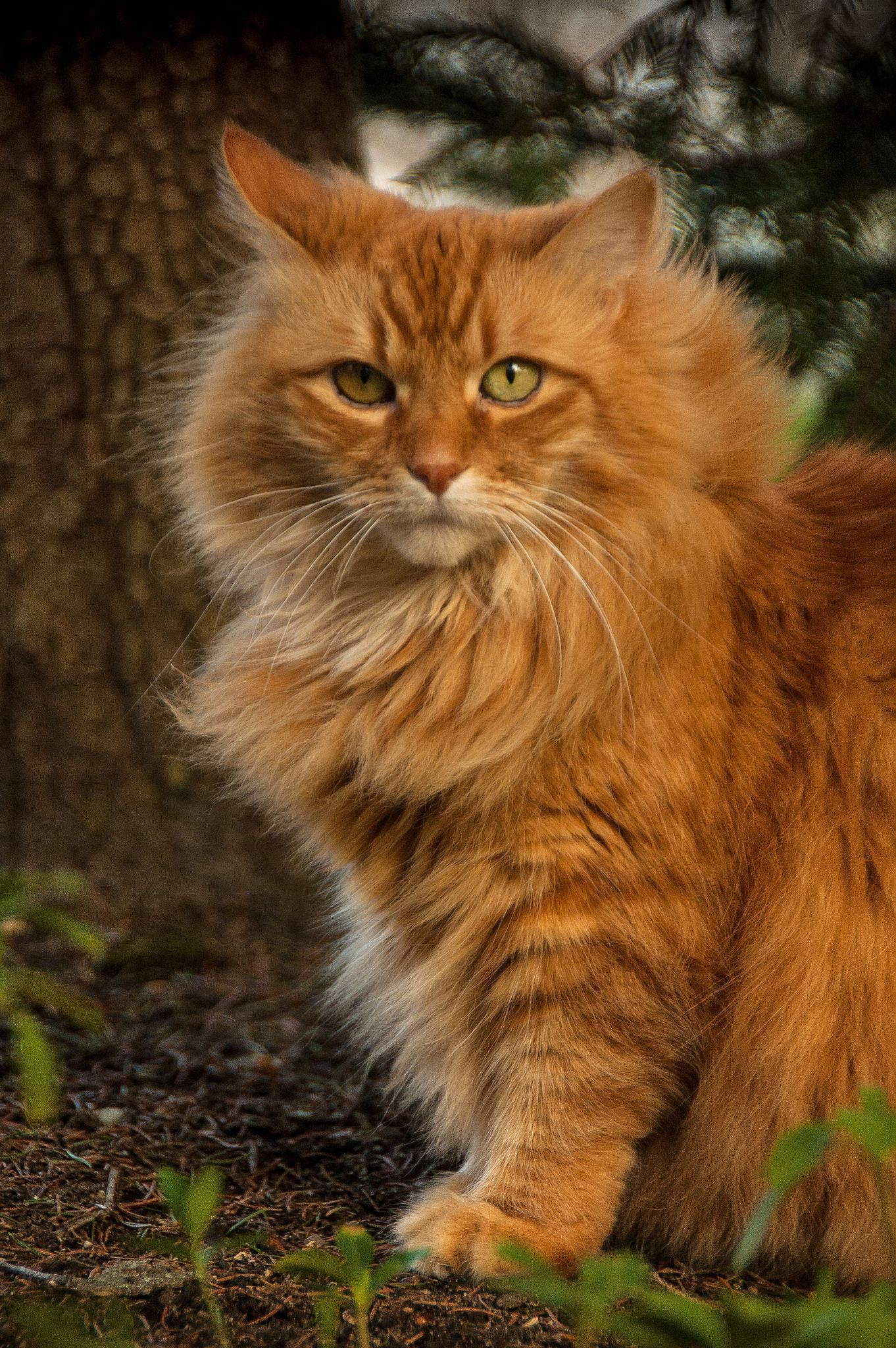 My Orange Cat in 2020 (With images) Beautiful cats