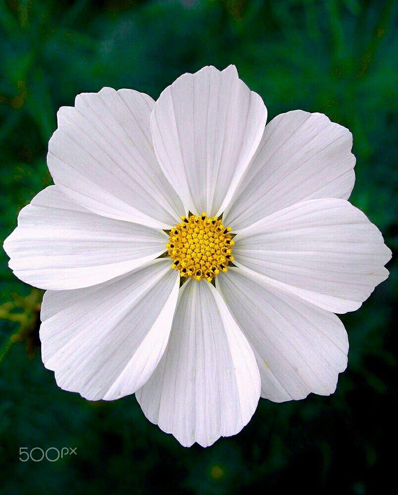 White Flower By Mevludin Sejmenovic Gardening