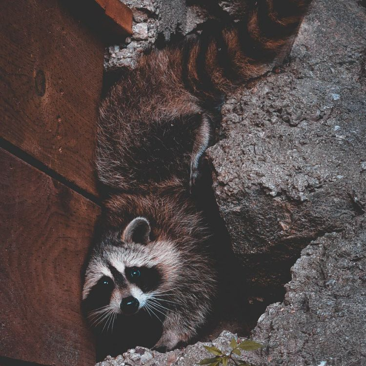 Aaac Wildlife Removal Of Madison Is A Certified Installer Of Ridge Guard With The Advent Of Ridge Vents To Location Photography Raccoon Photography