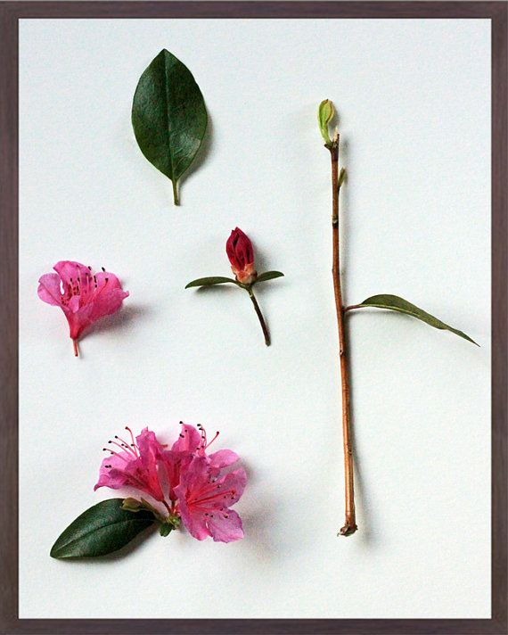 Floral Study Parts Of The Azalea Rhododendron Obtusum Botanical Print By Gemsofthesoil