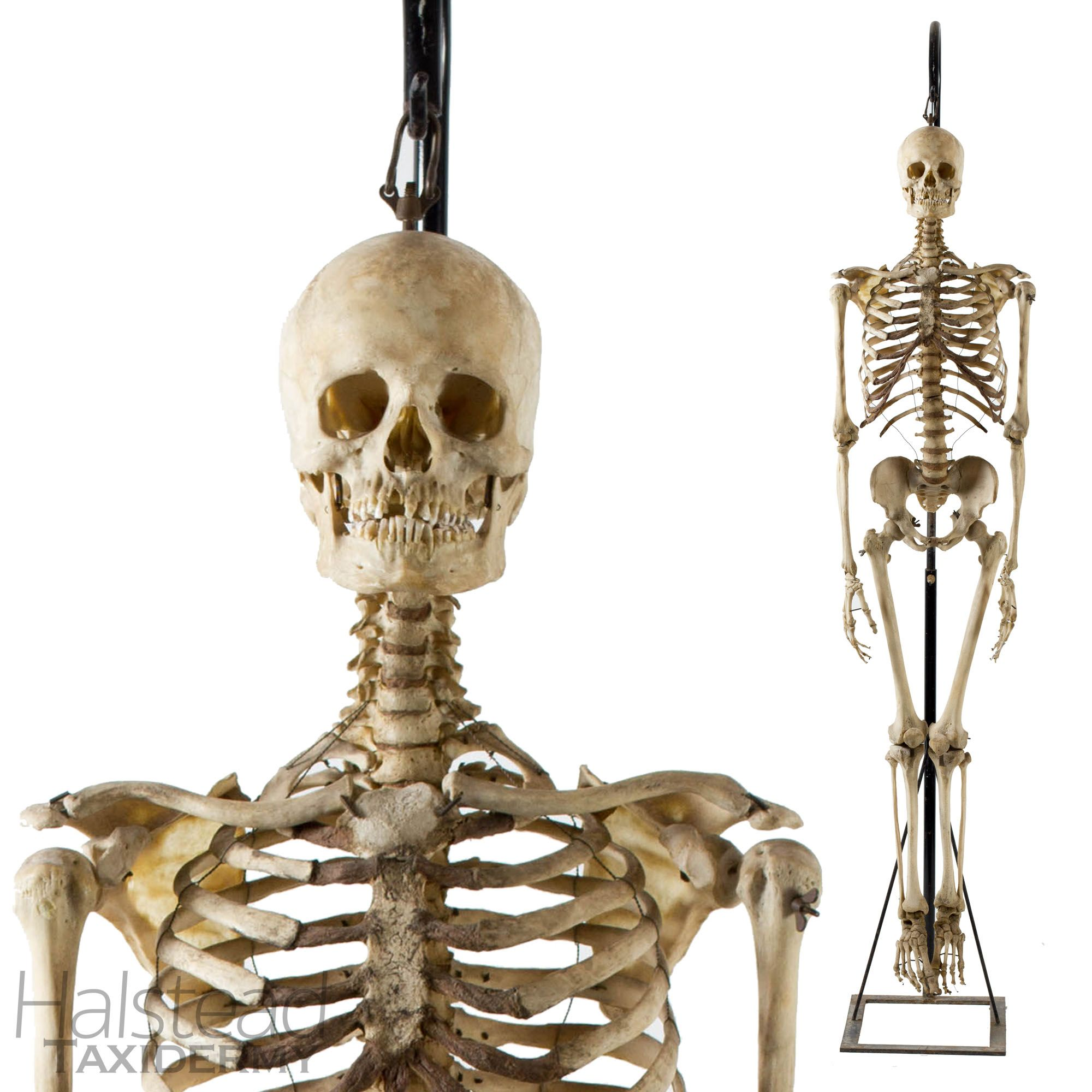 Articulated human skeleton from Halsted Taxidermy: http://www ...