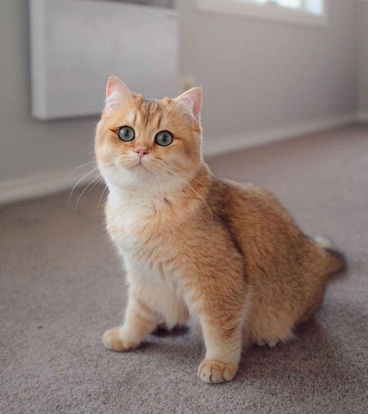 Meet Pumpkin The Cutest Black Golden Ticked British Shorthair Cat
