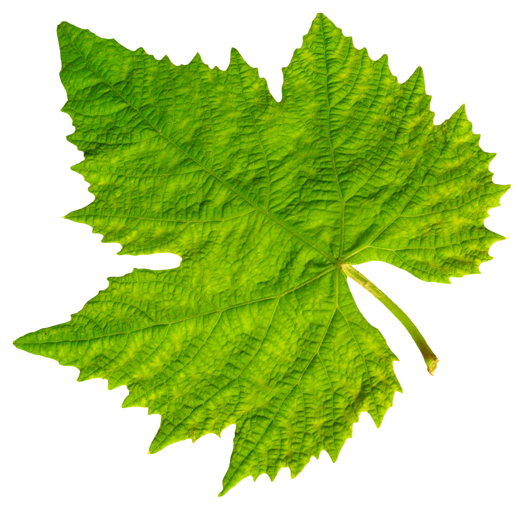This High Quality Free Png Image Without Any Background Is About Food Grape Leaves And Grape Vine Leaf Leaf Clipart Leaves Hydrangea Leaves