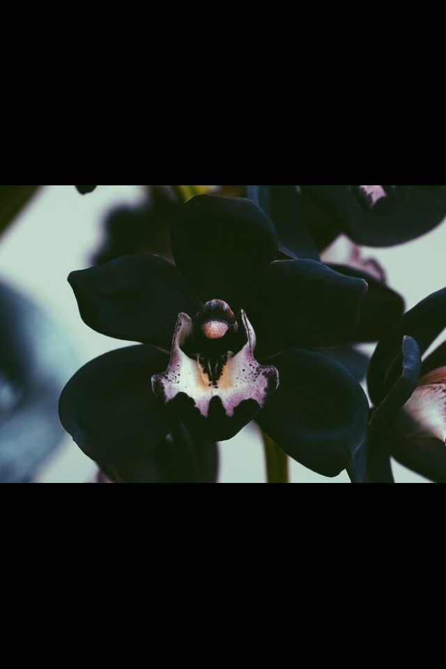 Pin by Mylah Rossiter on So pretty Orchids, Black orchid