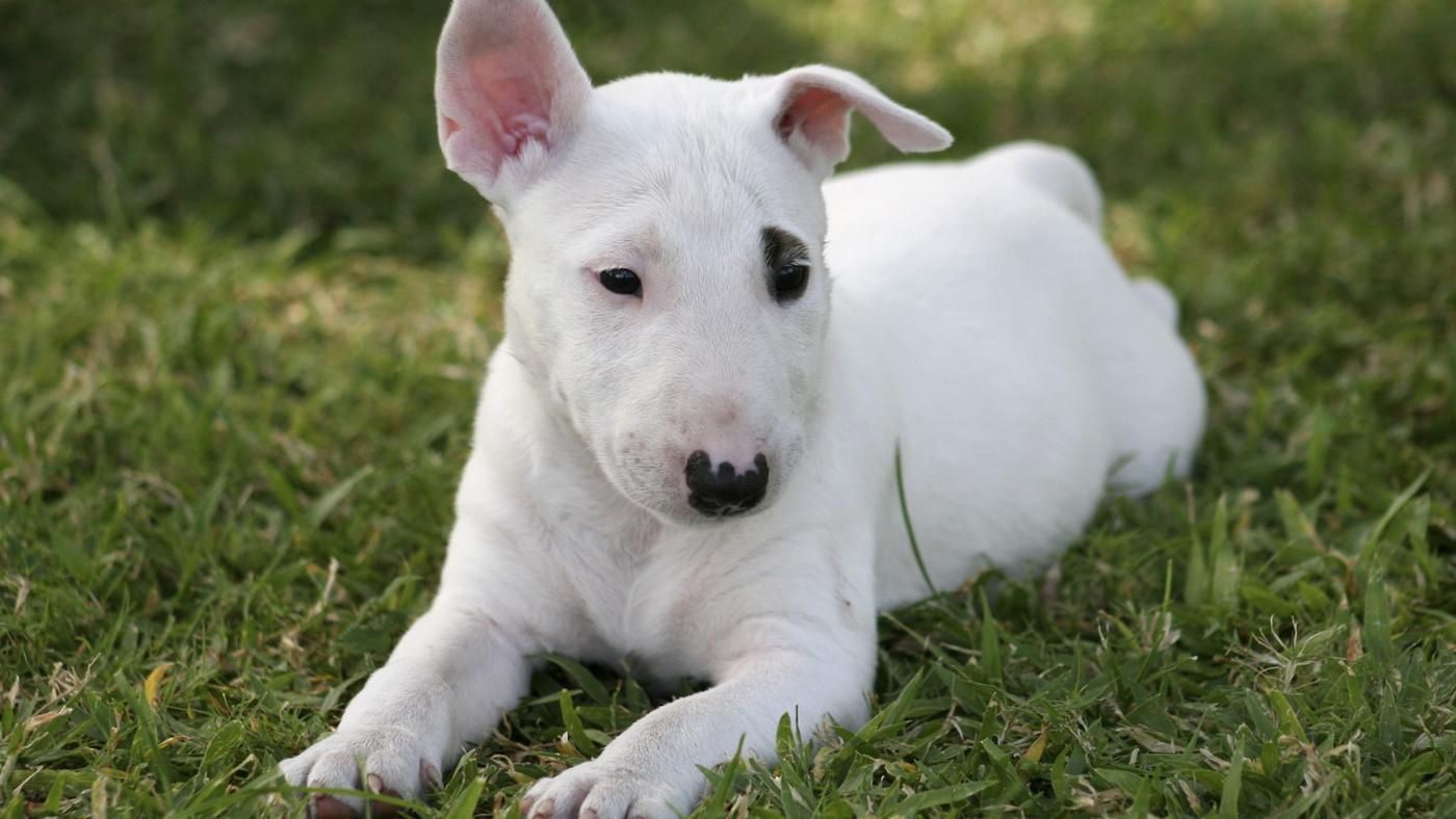 What Breed Of Dog Is Spuds Mackenzie In 2020 Bull Terrier Puppy Bull Terrier Miniature Bull Terrier Puppies