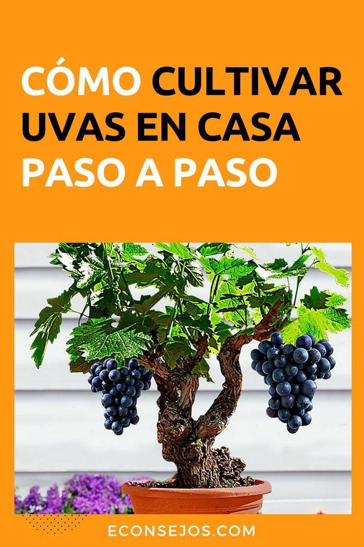 Aprende cómo cultivar UVAS en casa Disfruta de su sabor