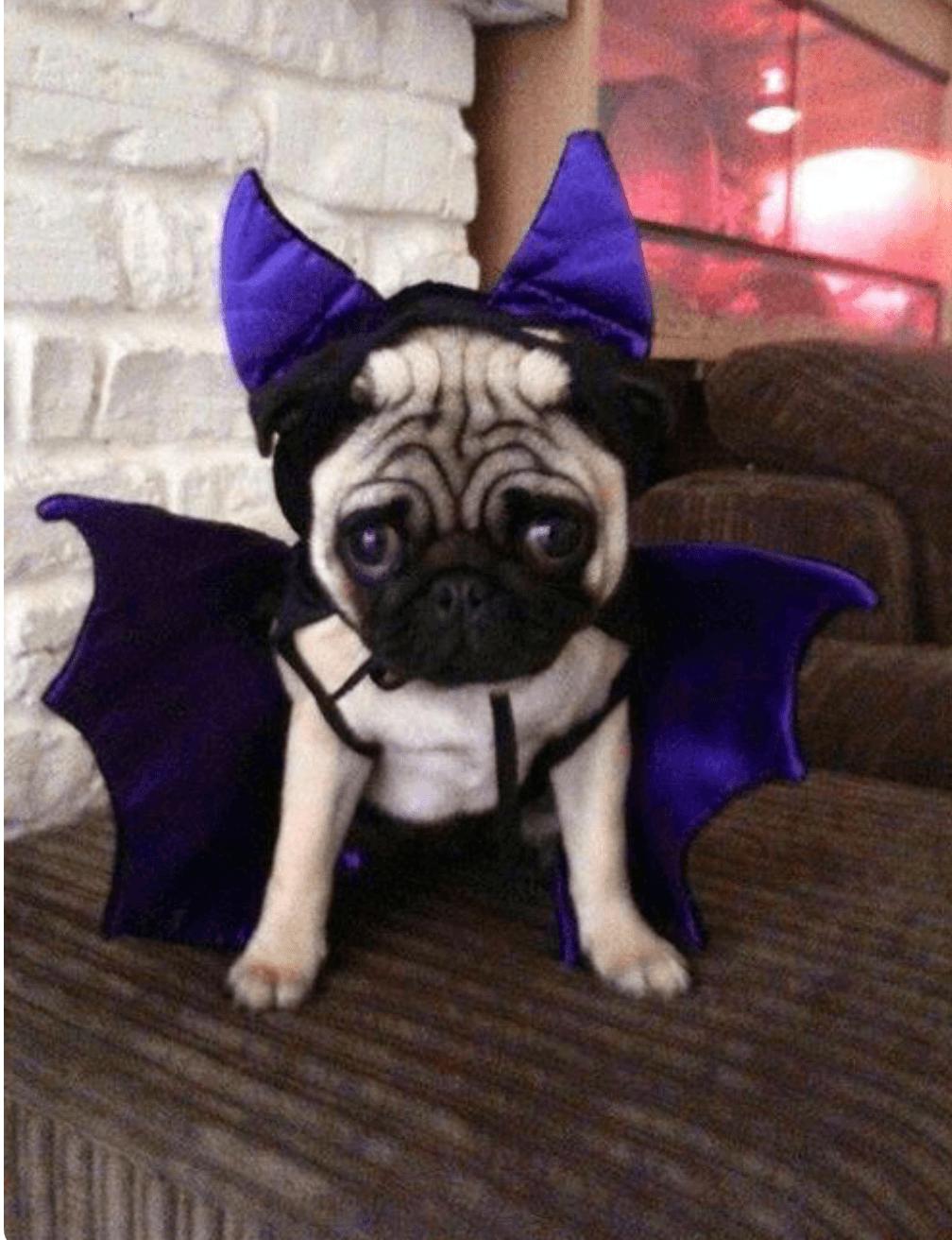Resultado de imagen para disfraz de halloween para pug