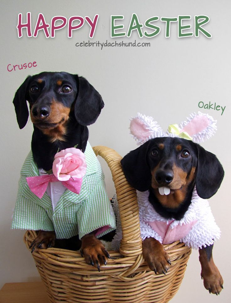 Easter Bunny Wieners Crusoe The Celebrity Dachshund Weenie Dogs