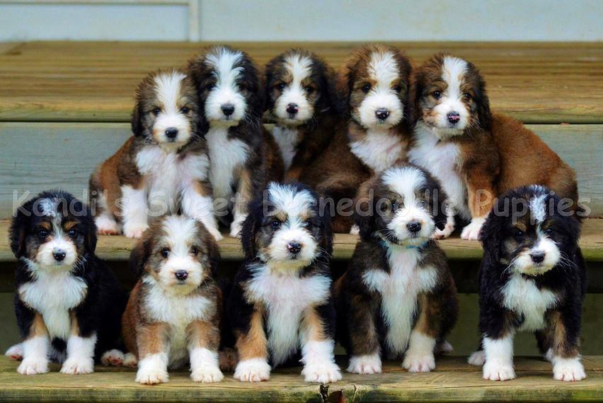 Bernedoodle Home Bernedoodle Puppy Bernedoodle Breeder Bernedoodle Puppy Bernedoodle Cuddly Animals
