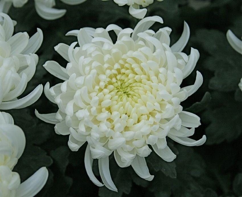 au japon le chrysanth me est le symbole de la famille. Black Bedroom Furniture Sets. Home Design Ideas
