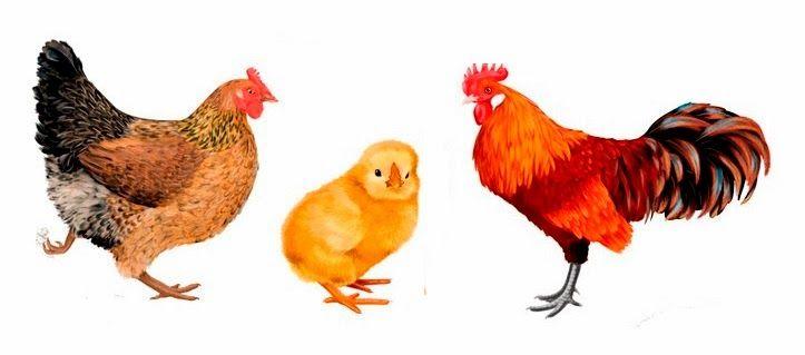 Курица петух и цыплята картинки для детей