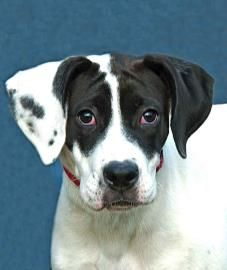 Adopt Rowdy Graduate On Dane Dog Great Dane Puppy Dane Puppies
