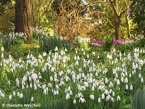 The Galloping Gardener See The Best Snowdrops In Britain