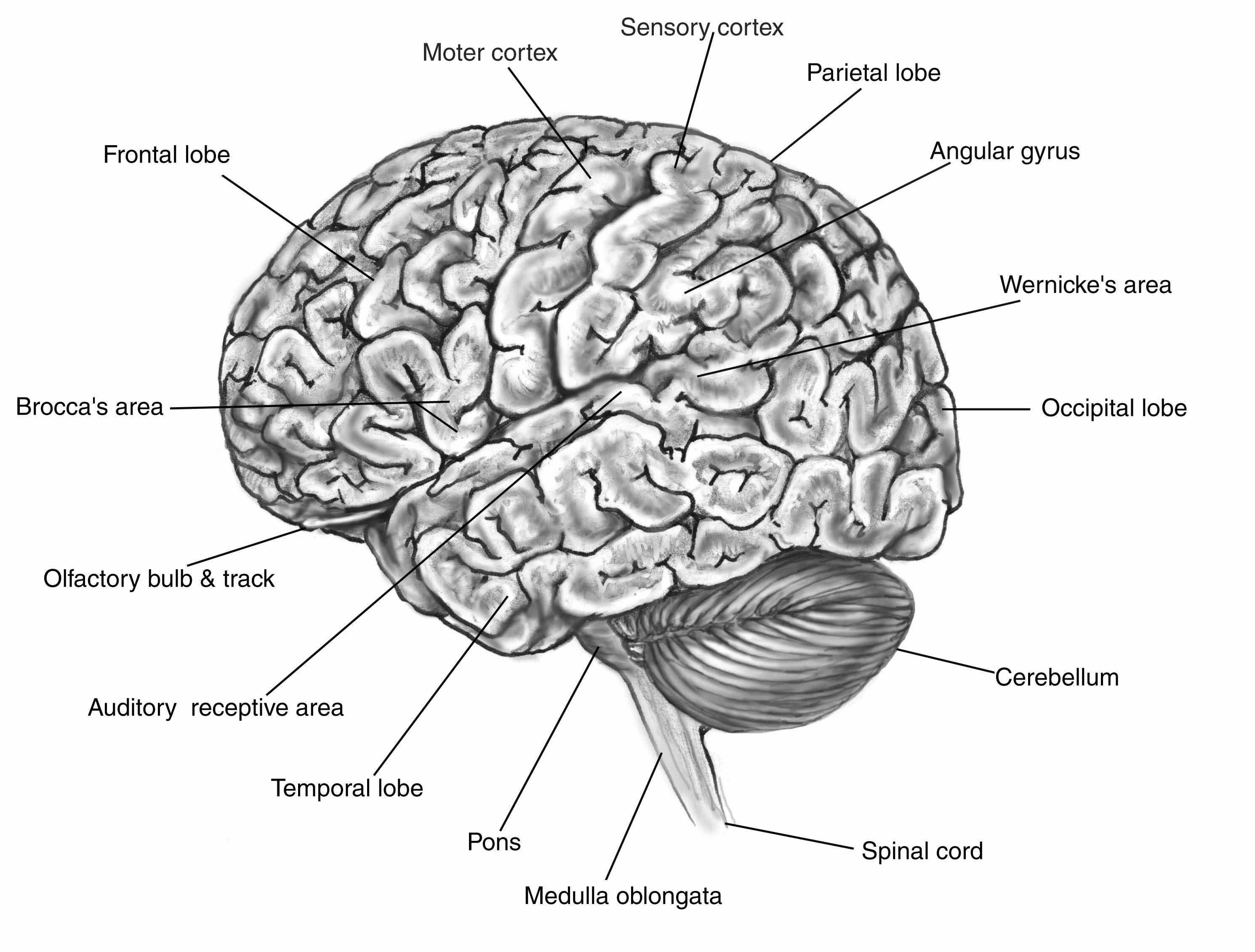 Labeled Parts Of The Brain Koibana Info Brain Diagram Human Brain Human Brain Diagram