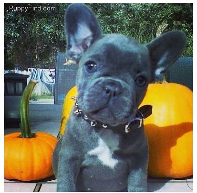 Blue French Bulldogs Breed Information Price Facts Loyal Or Not Where To Buy French Bulldog Blue French Bulldog Bulldog
