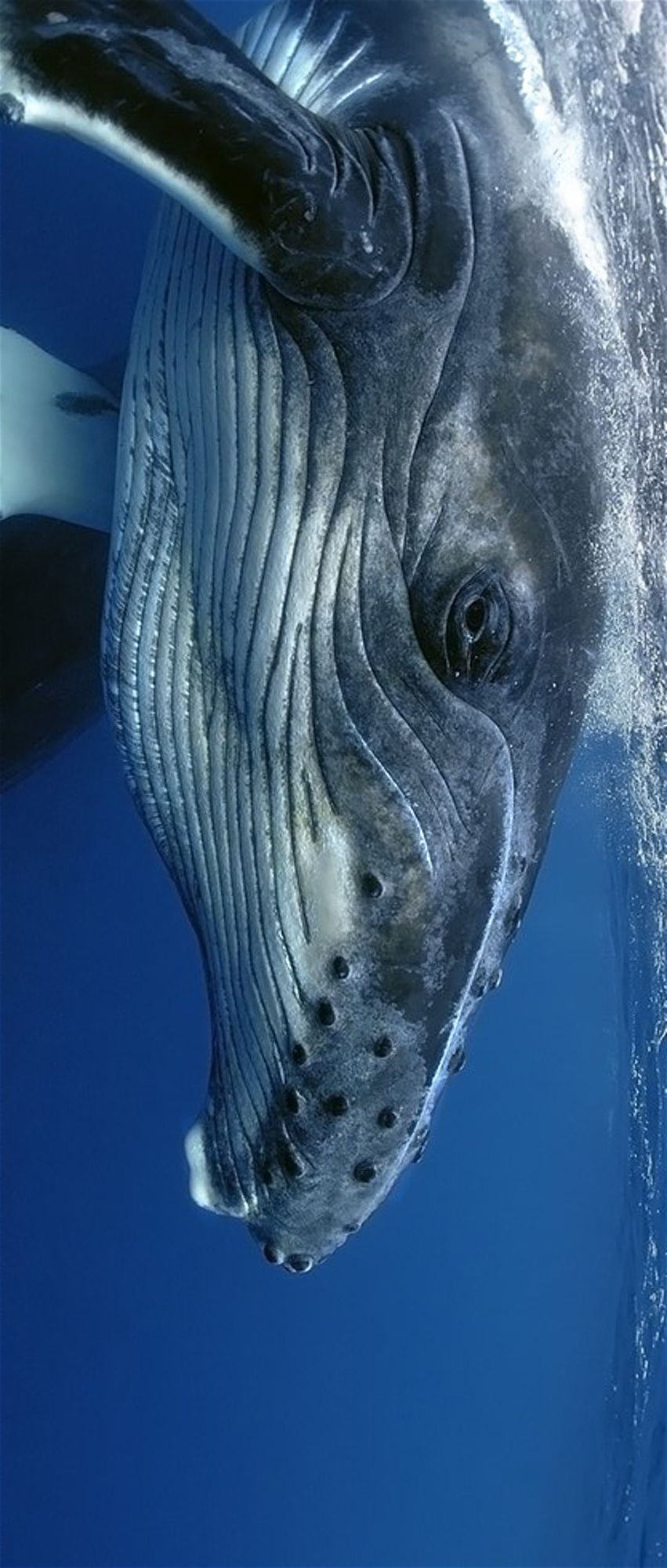 Whales Bet You Never Knew Why Humpback Whales Have Bumps All