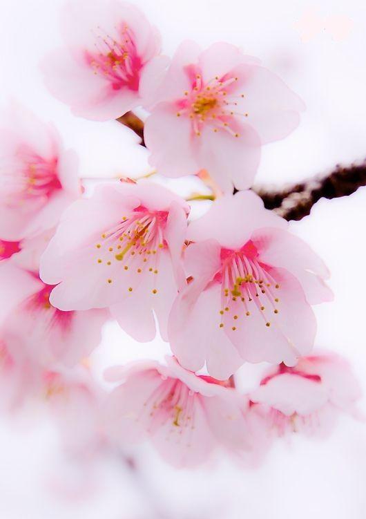Pin By Myat Phyu Sin On Pink D Cherry Blossom Wallpaper Flower Aesthetic Sakura Flower
