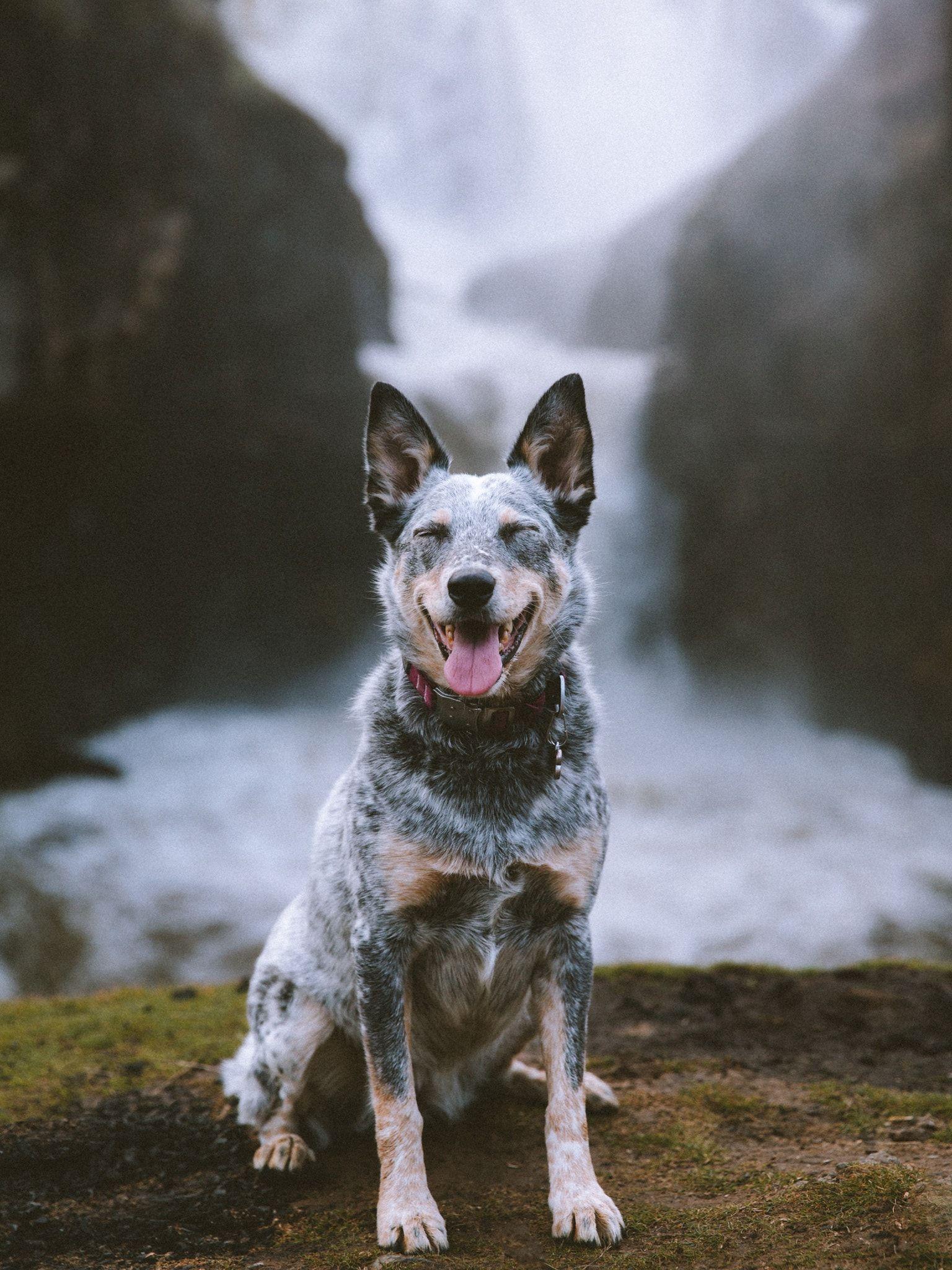 Australian Cattle Dog With Images Austrailian Cattle Dog