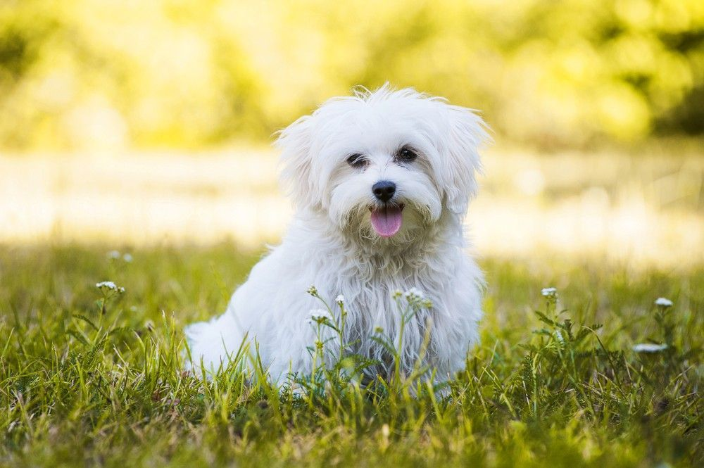 Short Haircuts For Maltese Dogs Top 5 Famous Maltese Haircut