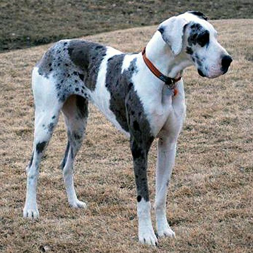 Great Dane Patient And Friendly Great Dane Dogs Great Dane Dane