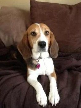 Alice Is A 2 Year Old Beagle Mix She Is A Sweet Girl Who Loves To