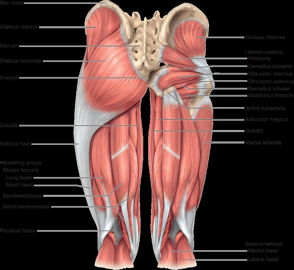 Mhe Reader Piriformis Gluteus Medius Muscle Anatomy