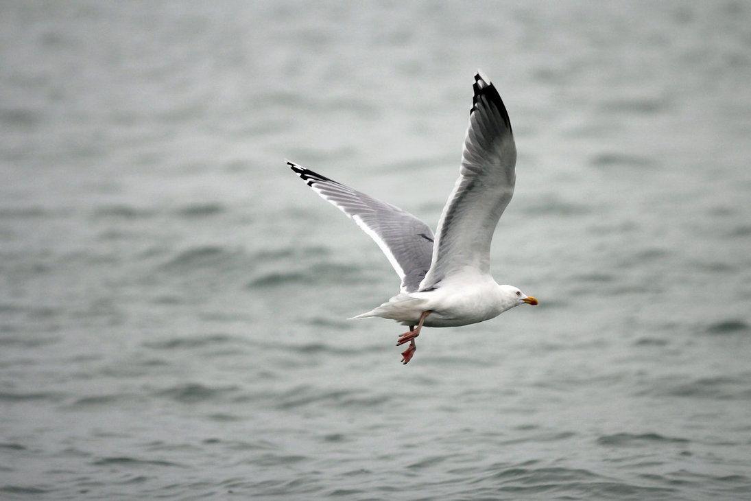 Free stock seagull by oniendrastocks on deviantart