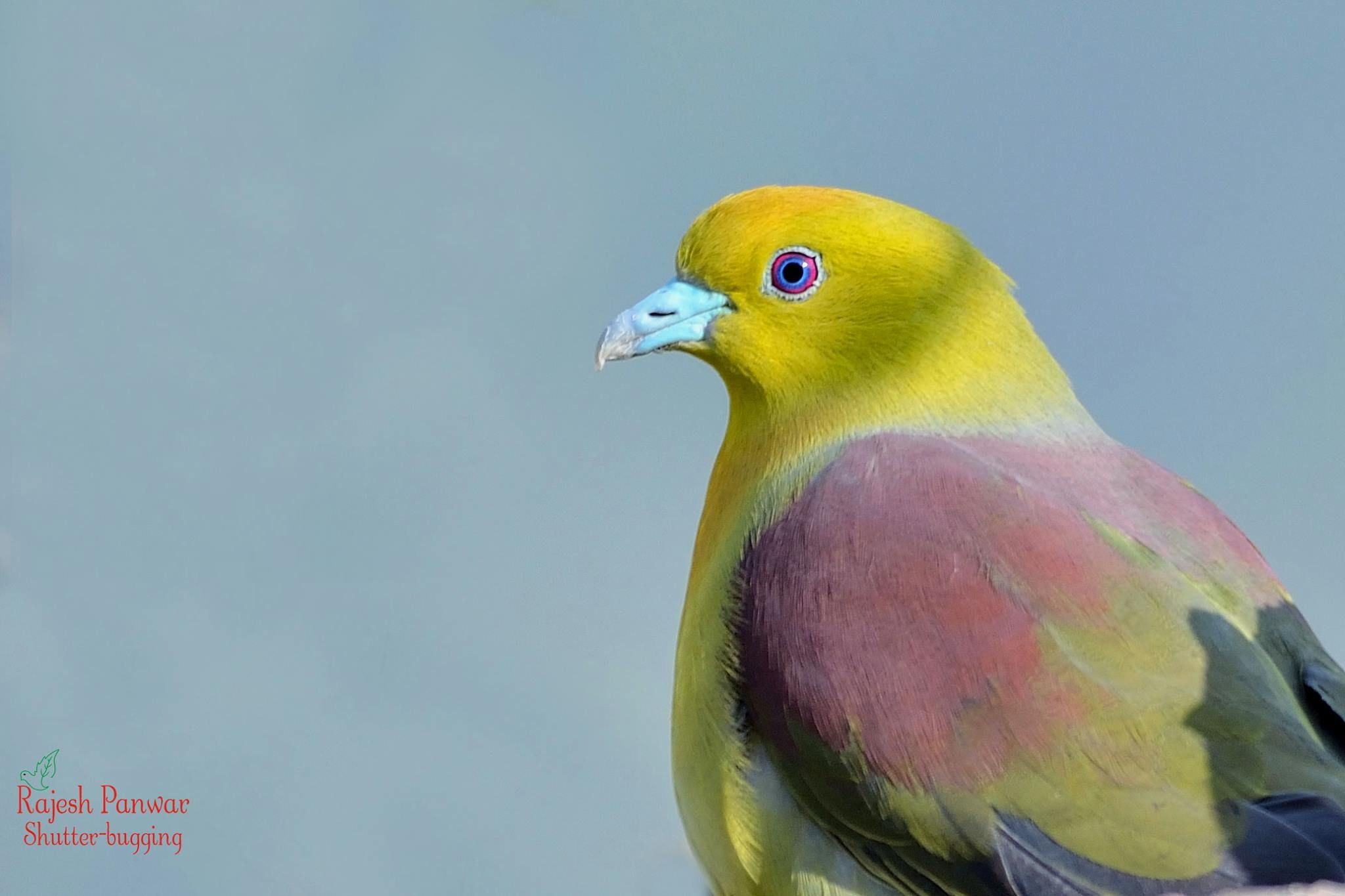 Wedge-tailed Green Pigeon- Male
