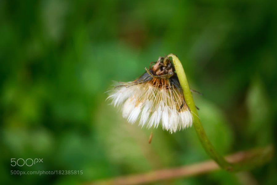 #photography Half Dandelion by maxrastello https://t.co/gVyC5ycEft #followme #photography